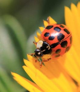 Ladybird_portrait
