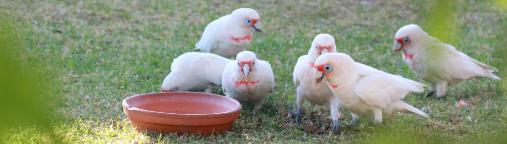 Corellas feeding